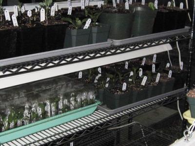 small dahlia plants