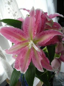 a double-blooming asiatic lily