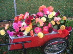 cartful of dahlias